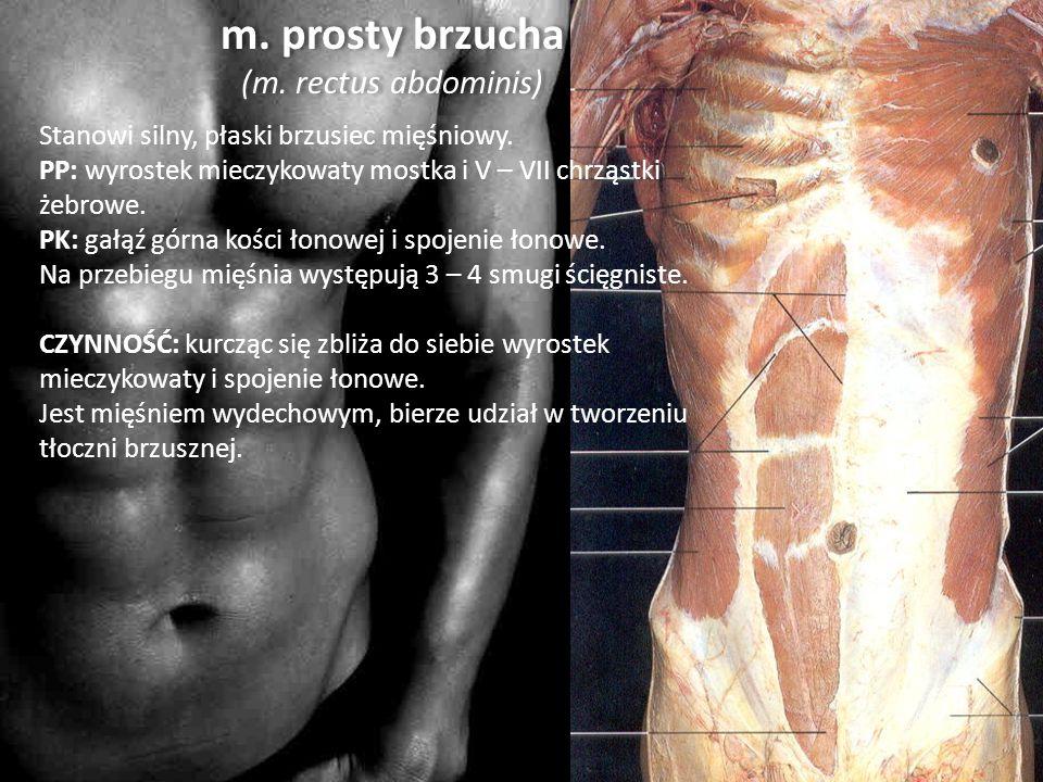 m. prosty brzucha (m. rectus abdominis)