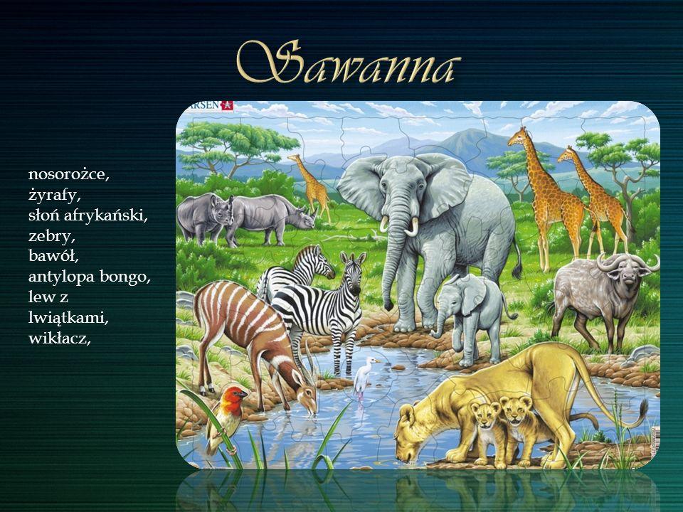 Sawanna nosorożce, żyrafy, słoń afrykański, zebry, bawół,