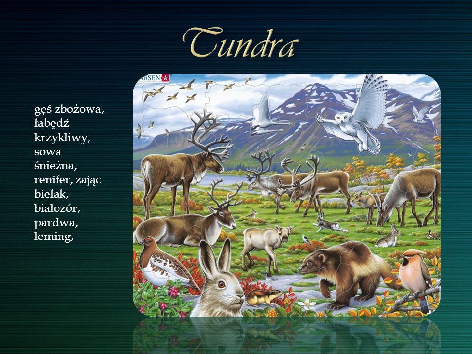 Tundra gęś zbożowa, łabędź krzykliwy, sowa śnieżna, renifer, zając bielak, białozór, pardwa, leming,