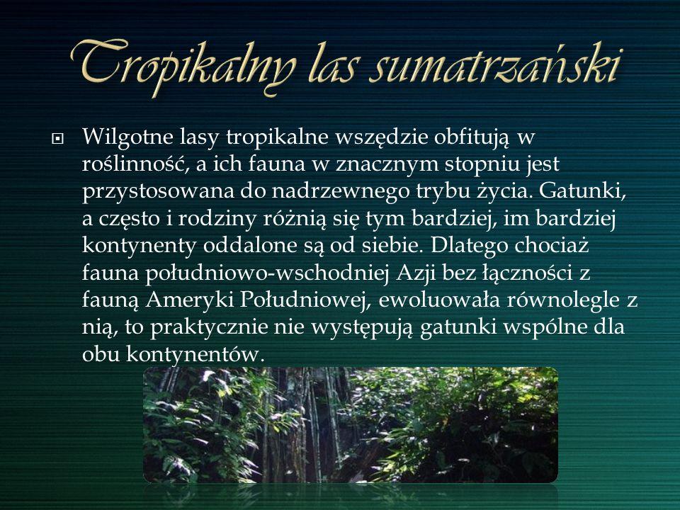 Tropikalny las sumatrzański