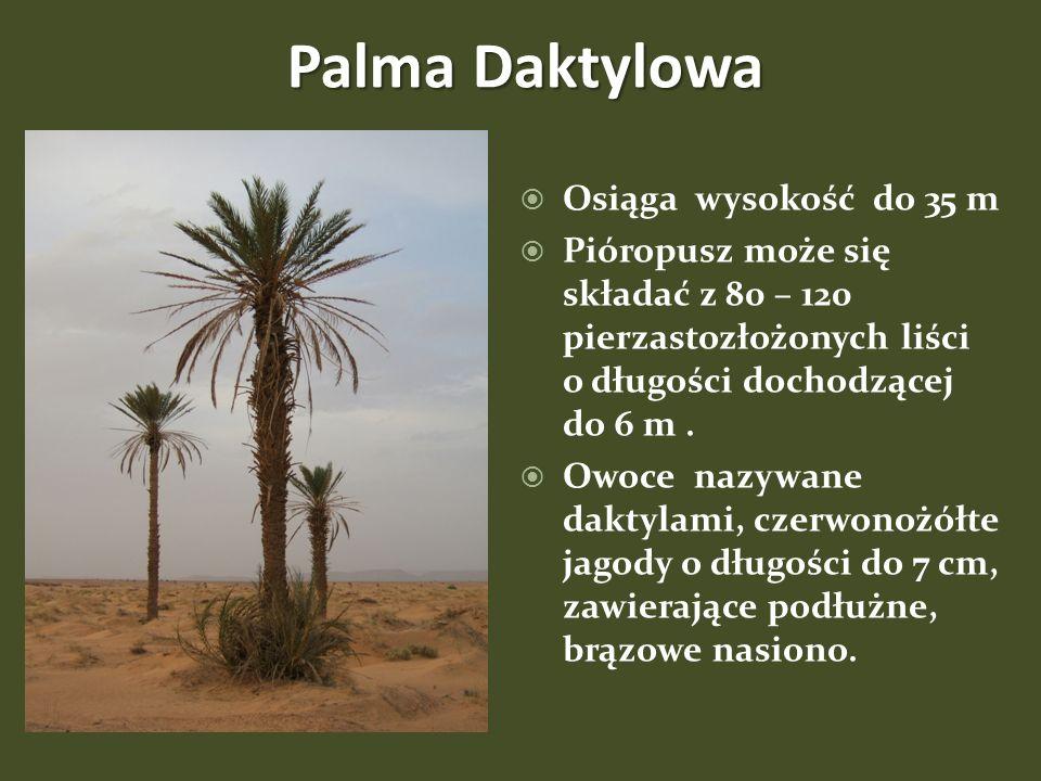 Palma Daktylowa Osiąga wysokość do 35 m