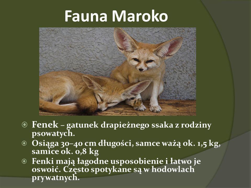 Fauna Maroko Fenek – gatunek drapieżnego ssaka z rodziny psowatych.