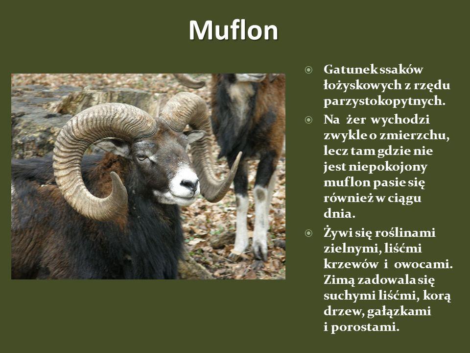 Muflon Gatunek ssaków łożyskowych z rzędu parzystokopytnych.