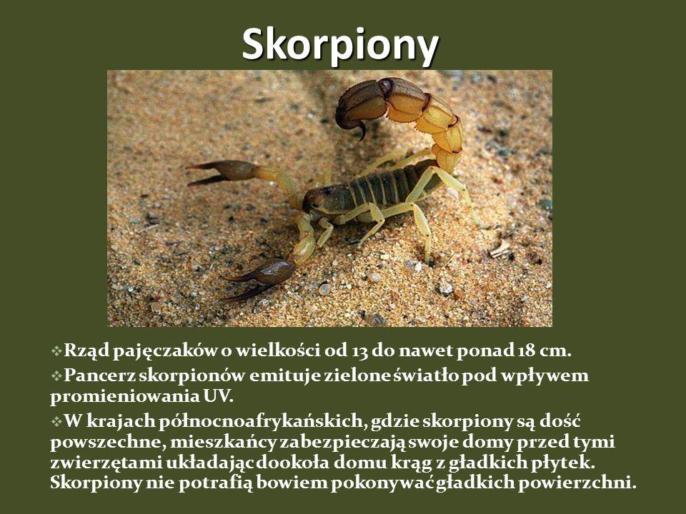Skorpiony Rząd pajęczaków o wielkości od 13 do nawet ponad 18 cm.