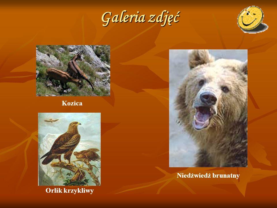 Galeria zdjęć Kozica Niedźwiedź brunatny Orlik krzykliwy