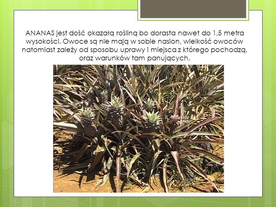 ANANAS jest dość okazałą rośliną bo dorasta nawet do 1,5 metra wysokości.