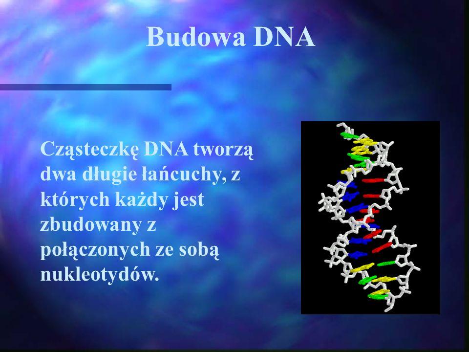 Budowa DNA Cząsteczkę DNA tworzą dwa długie łańcuchy, z których każdy jest zbudowany z połączonych ze sobą nukleotydów.