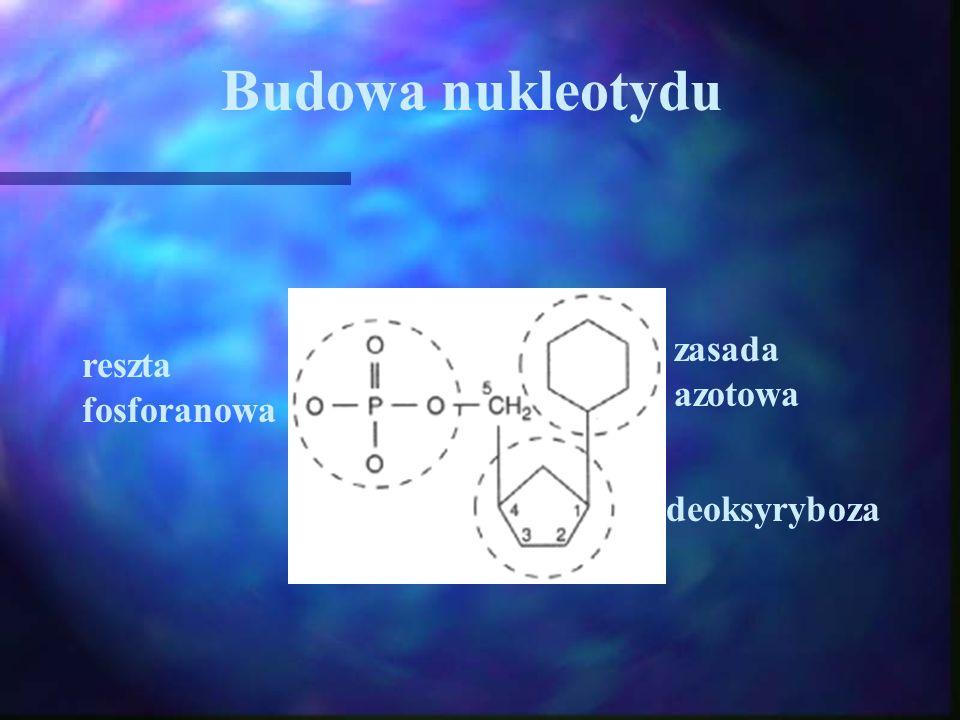 Budowa nukleotydu zasada azotowa reszta fosforanowa deoksyryboza