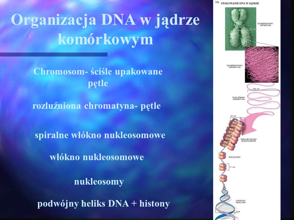 Organizacja DNA w jądrze komórkowym Chromosom- ściśle upakowane pętle