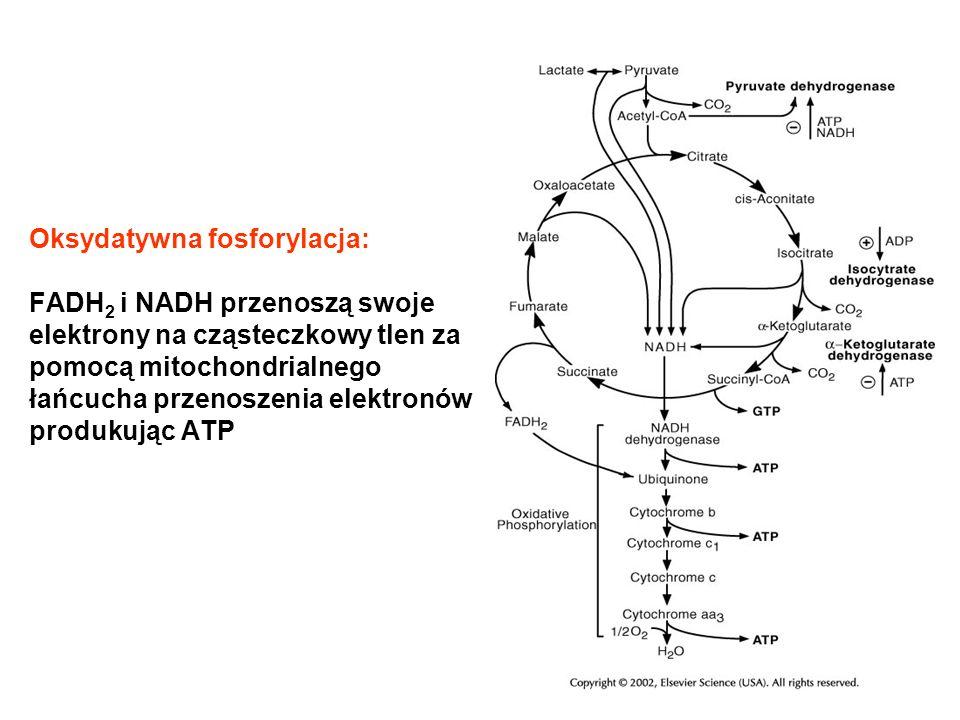 Oksydatywna fosforylacja: FADH2 i NADH przenoszą swoje elektrony na cząsteczkowy tlen za pomocą mitochondrialnego łańcucha przenoszenia elektronów produkując ATP