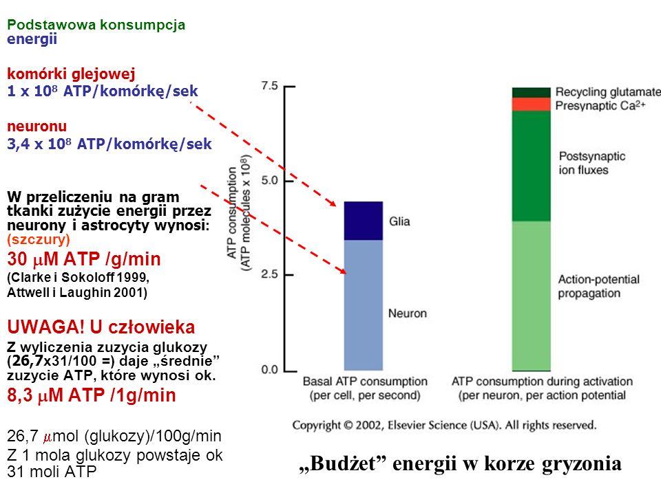 """""""Budżet energii w korze gryzonia"""