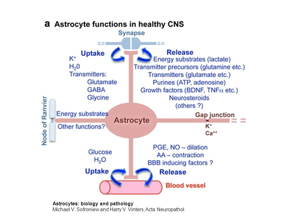 Astrocytes: biology and pathology