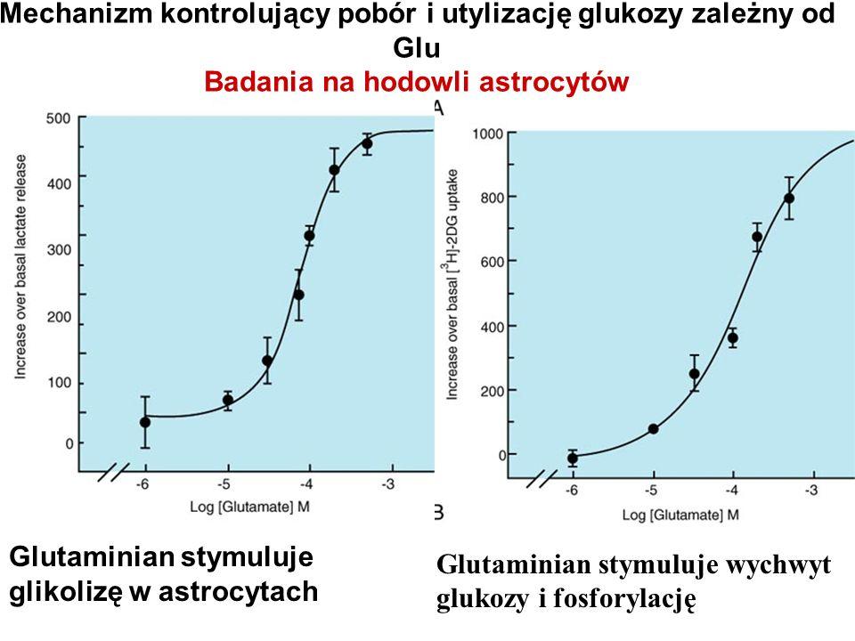 Glutaminian stymuluje glikolizę w astrocytach