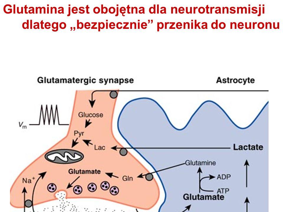 """Glutamina jest obojętna dla neurotransmisji dlatego """"bezpiecznie przenika do neuronu"""
