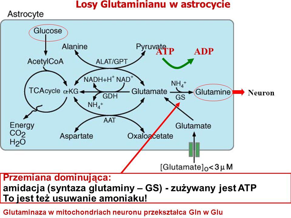 Losy Glutaminianu w astrocycie