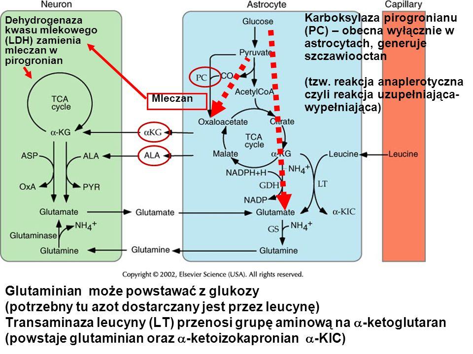 Glutaminian może powstawać z glukozy