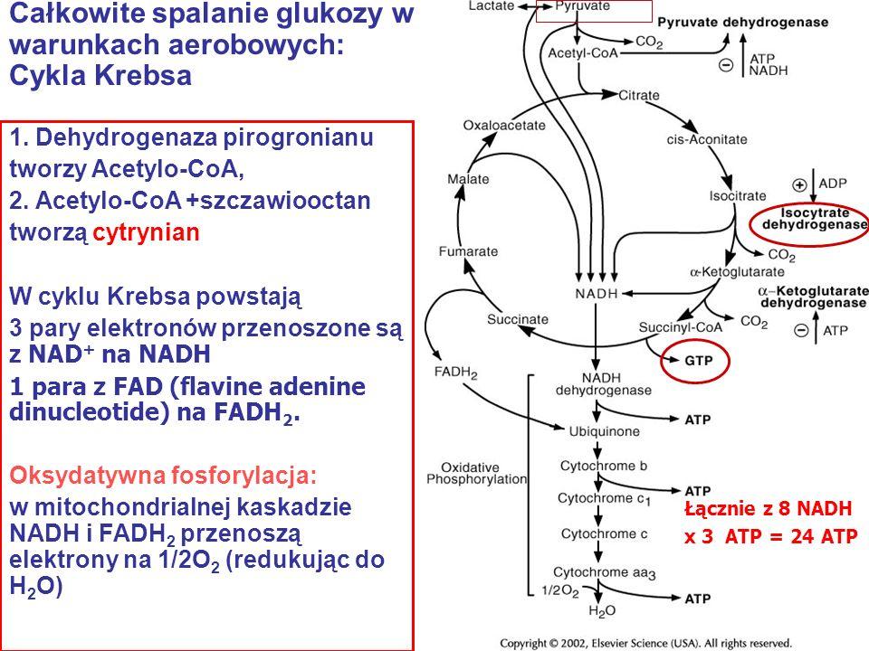 Całkowite spalanie glukozy w warunkach aerobowych: Cykla Krebsa