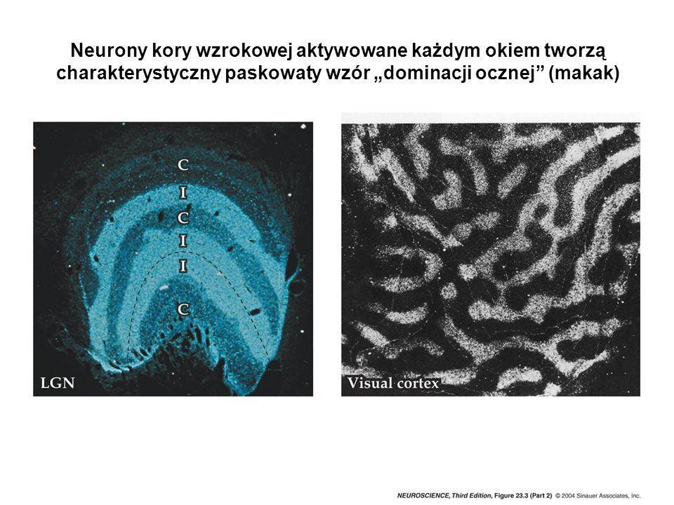 """Neurony kory wzrokowej aktywowane każdym okiem tworzą charakterystyczny paskowaty wzór """"dominacji ocznej (makak)"""