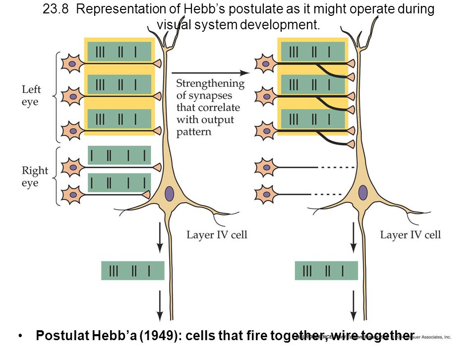 Postulat Hebb'a (1949): cells that fire together, wire together