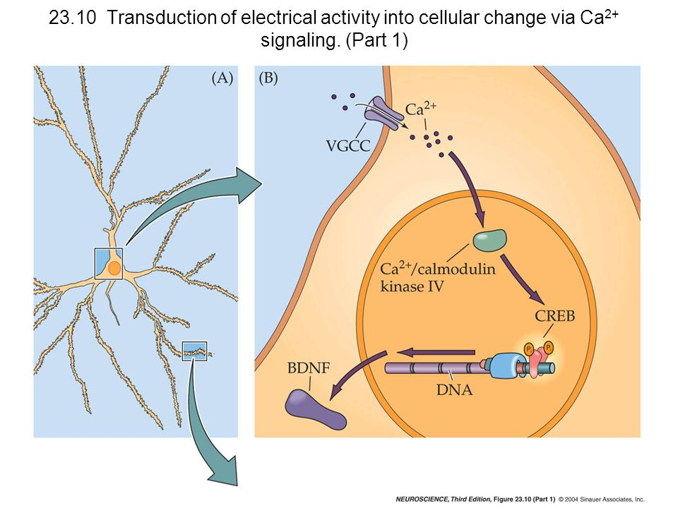 23.10 Transduction of electrical activity into cellular change via Ca2+ signaling. (Part 1)