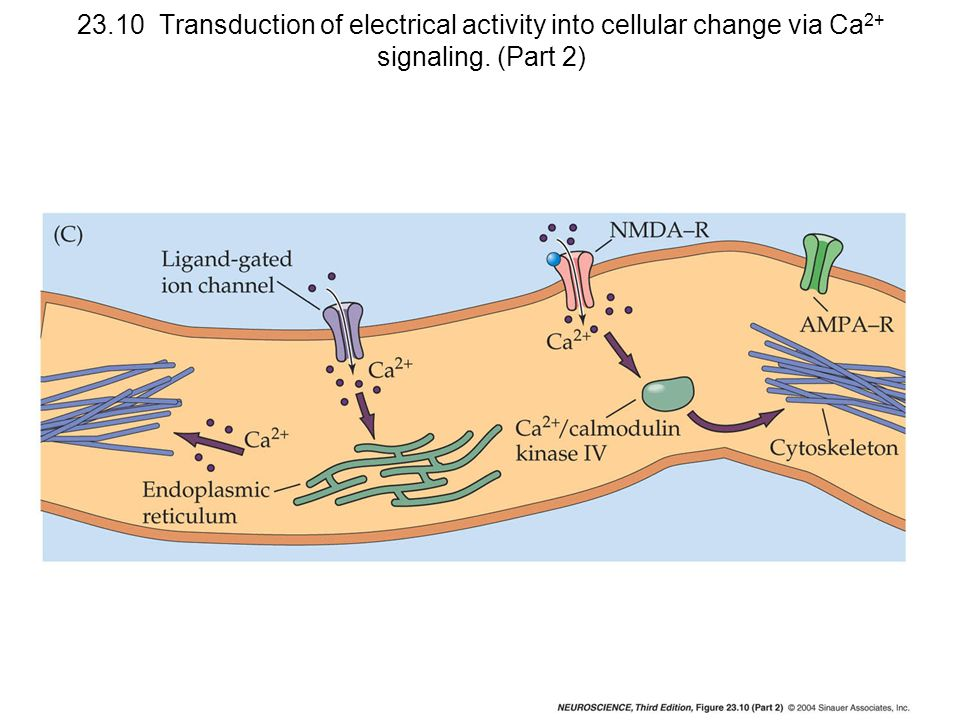 23.10 Transduction of electrical activity into cellular change via Ca2+ signaling. (Part 2)