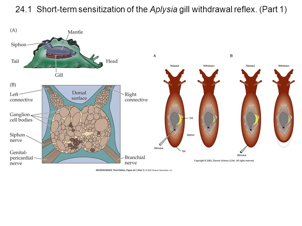 24. 1 Short-term sensitization of the Aplysia gill withdrawal reflex