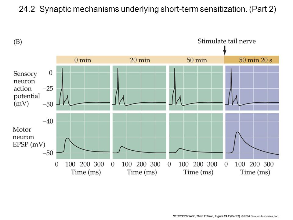 24.2 Synaptic mechanisms underlying short-term sensitization. (Part 2)