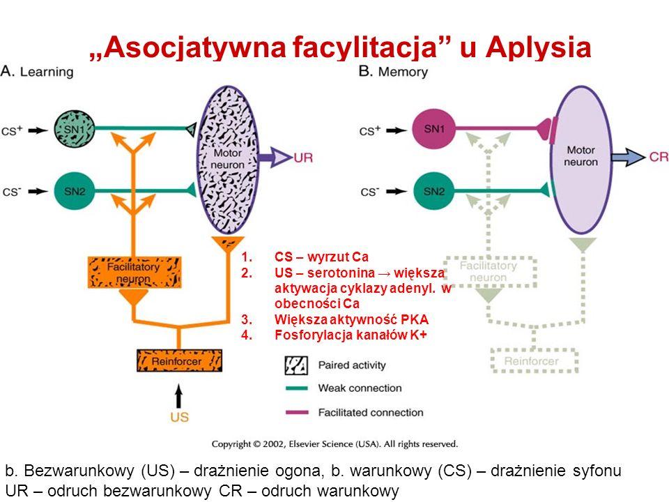 """""""Asocjatywna facylitacja u Aplysia"""