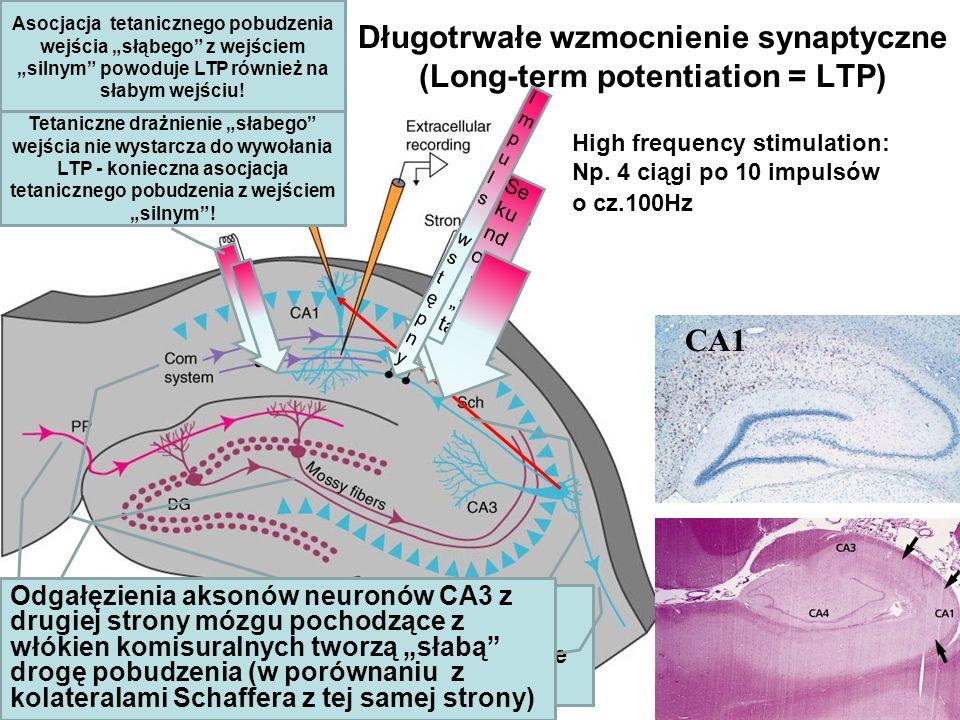 Długotrwałe wzmocnienie synaptyczne (Long-term potentiation = LTP)