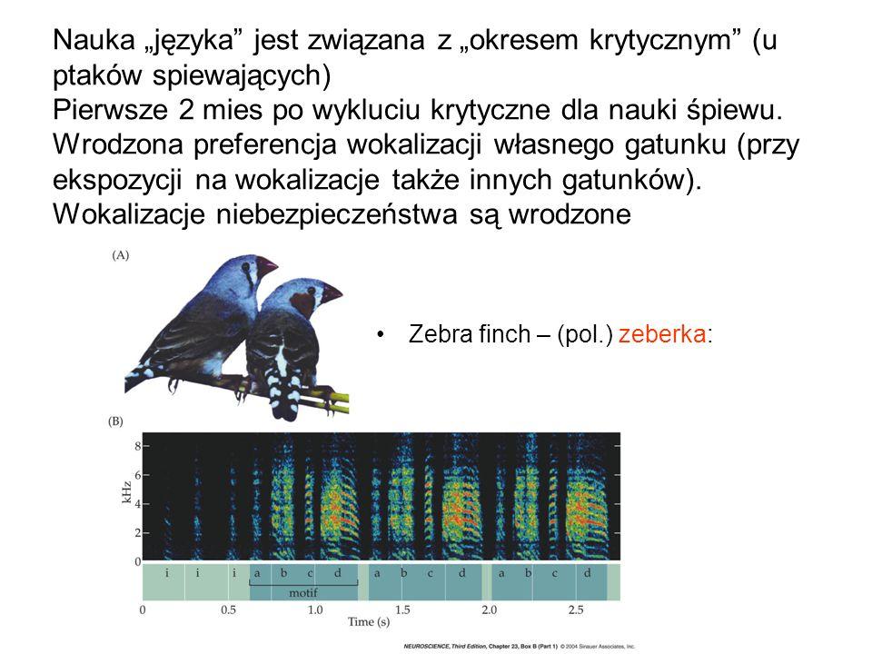 """Nauka """"języka jest związana z """"okresem krytycznym (u ptaków spiewających) Pierwsze 2 mies po wykluciu krytyczne dla nauki śpiewu. Wrodzona preferencja wokalizacji własnego gatunku (przy ekspozycji na wokalizacje także innych gatunków). Wokalizacje niebezpieczeństwa są wrodzone"""