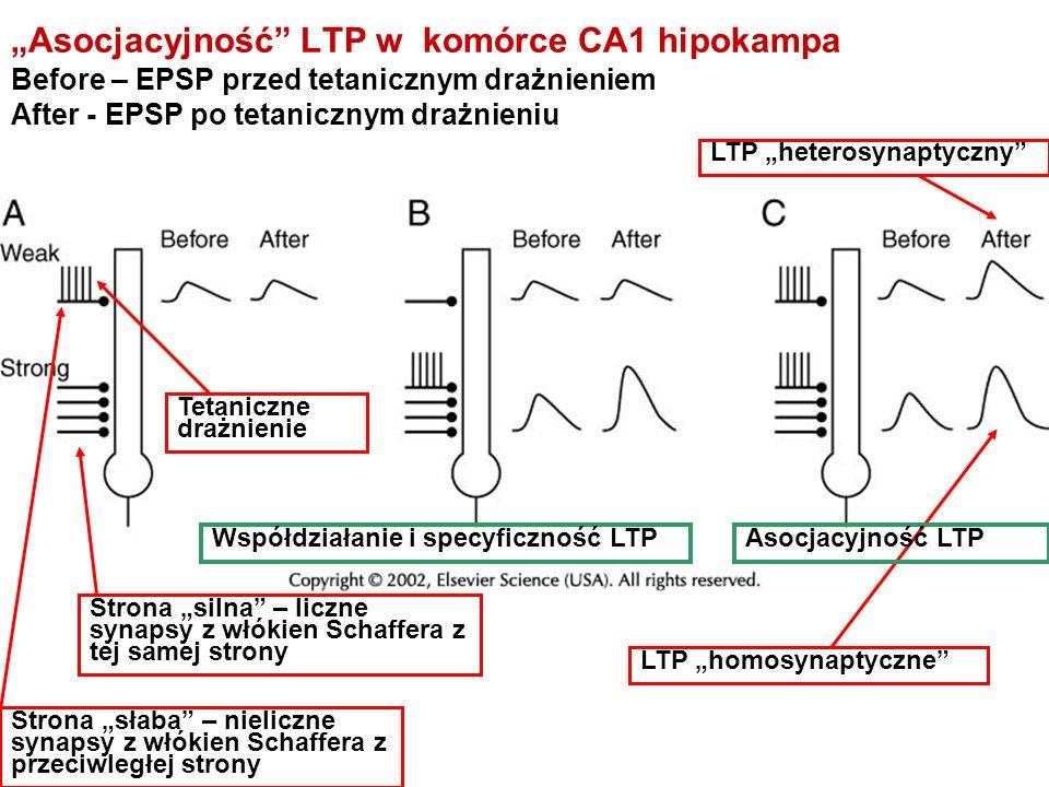 """""""Asocjacyjność LTP w komórce CA1 hipokampa"""