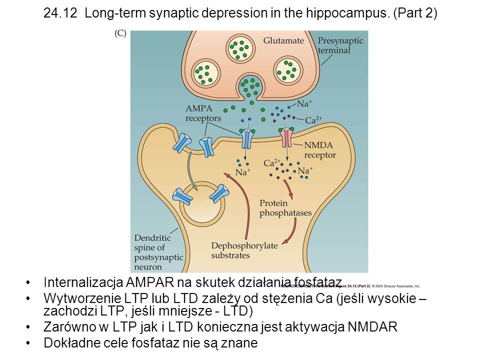 24.12 Long-term synaptic depression in the hippocampus. (Part 2)