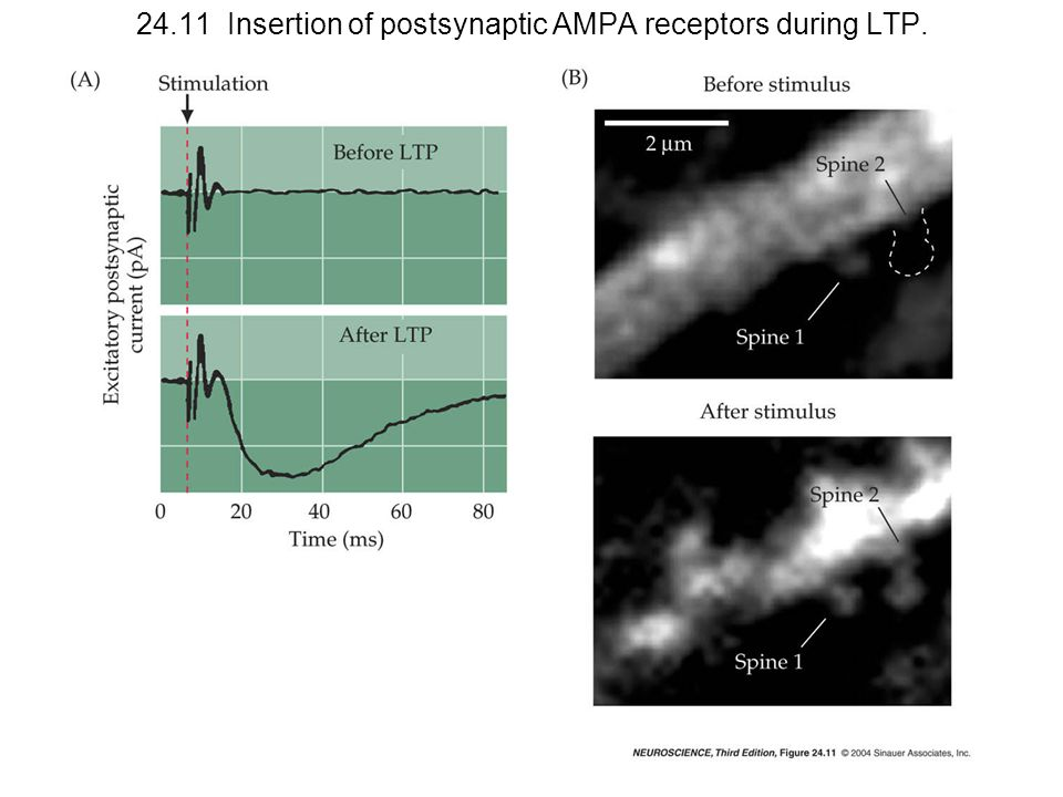 24.11 Insertion of postsynaptic AMPA receptors during LTP.