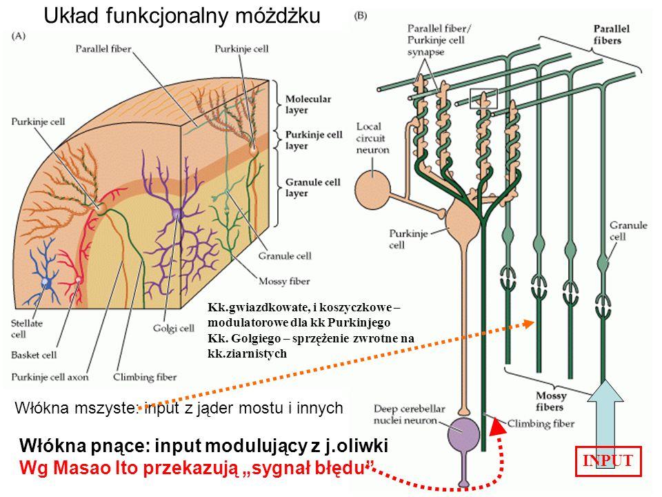 Układ funkcjonalny móżdżku