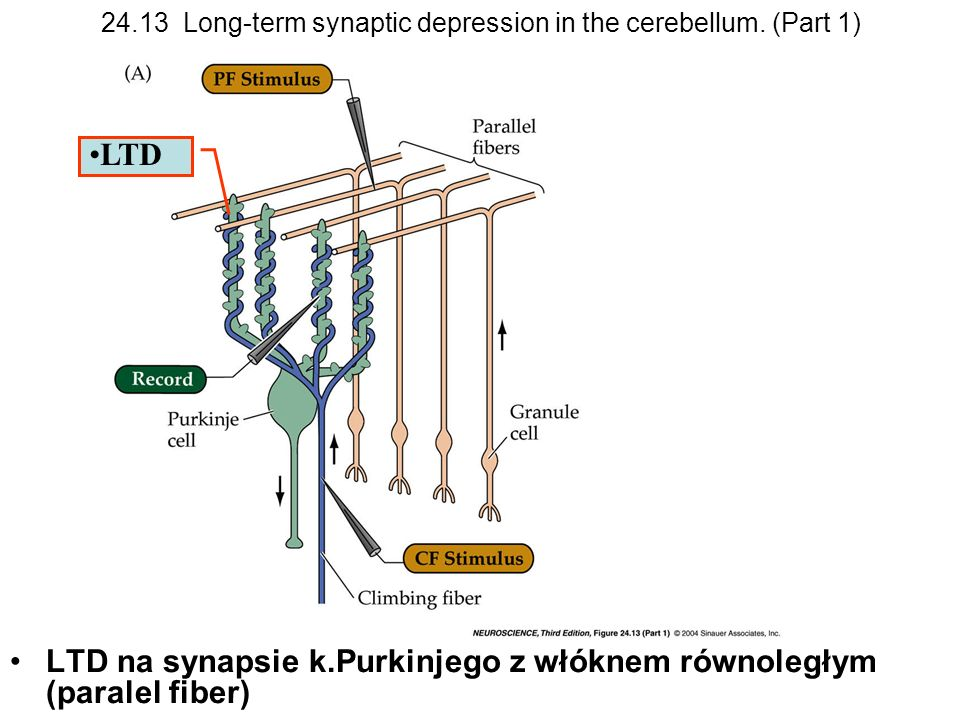 24.13 Long-term synaptic depression in the cerebellum. (Part 1)