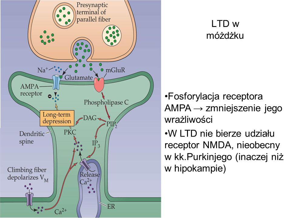LTD w móżdżku Fosforylacja receptora AMPA → zmniejszenie jego wrażliwości.