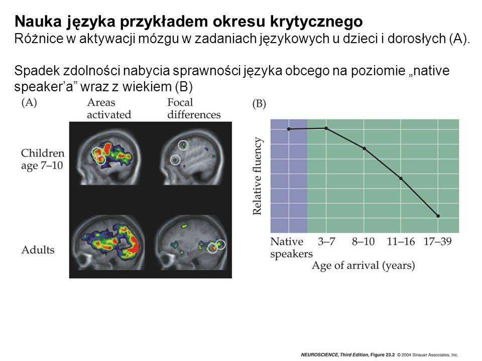 """Nauka języka przykładem okresu krytycznego Różnice w aktywacji mózgu w zadaniach językowych u dzieci i dorosłych (A). Spadek zdolności nabycia sprawności języka obcego na poziomie """"native speaker'a wraz z wiekiem (B)"""