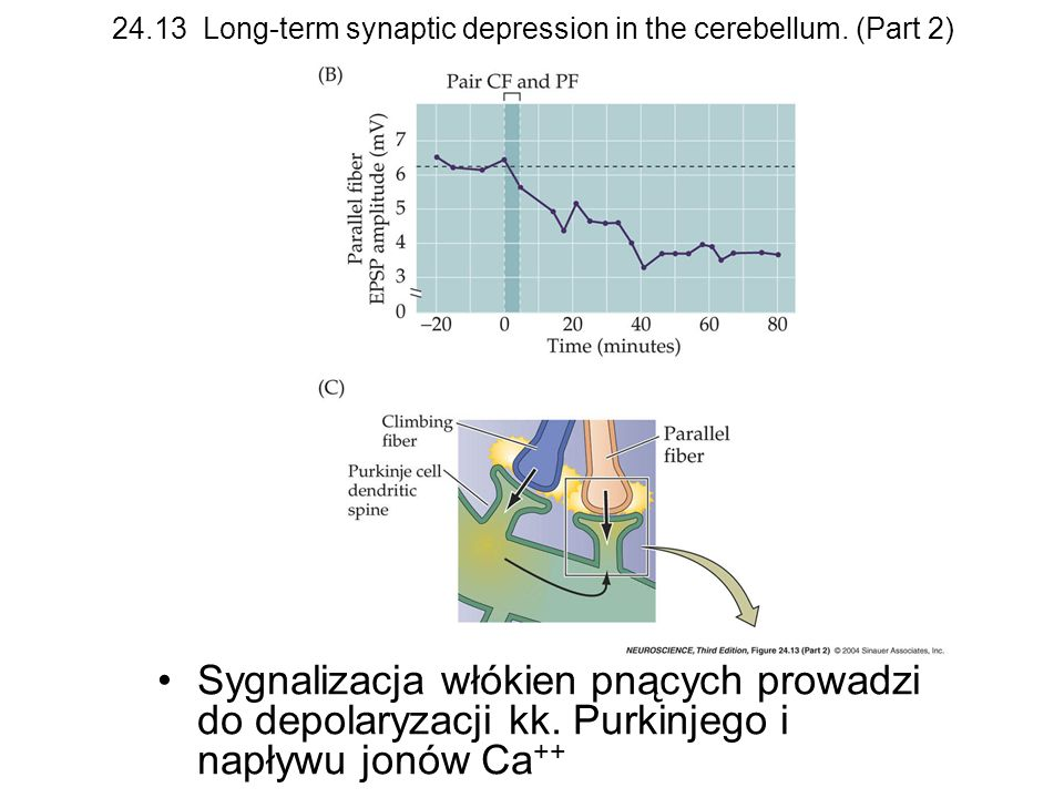 24.13 Long-term synaptic depression in the cerebellum. (Part 2)