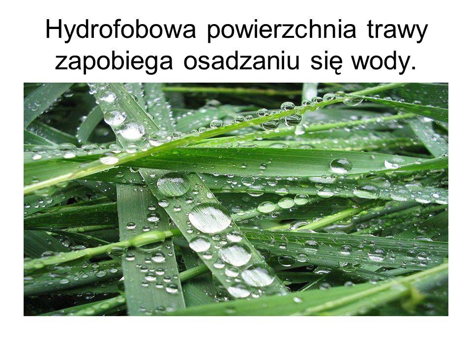 Hydrofobowa powierzchnia trawy zapobiega osadzaniu się wody.