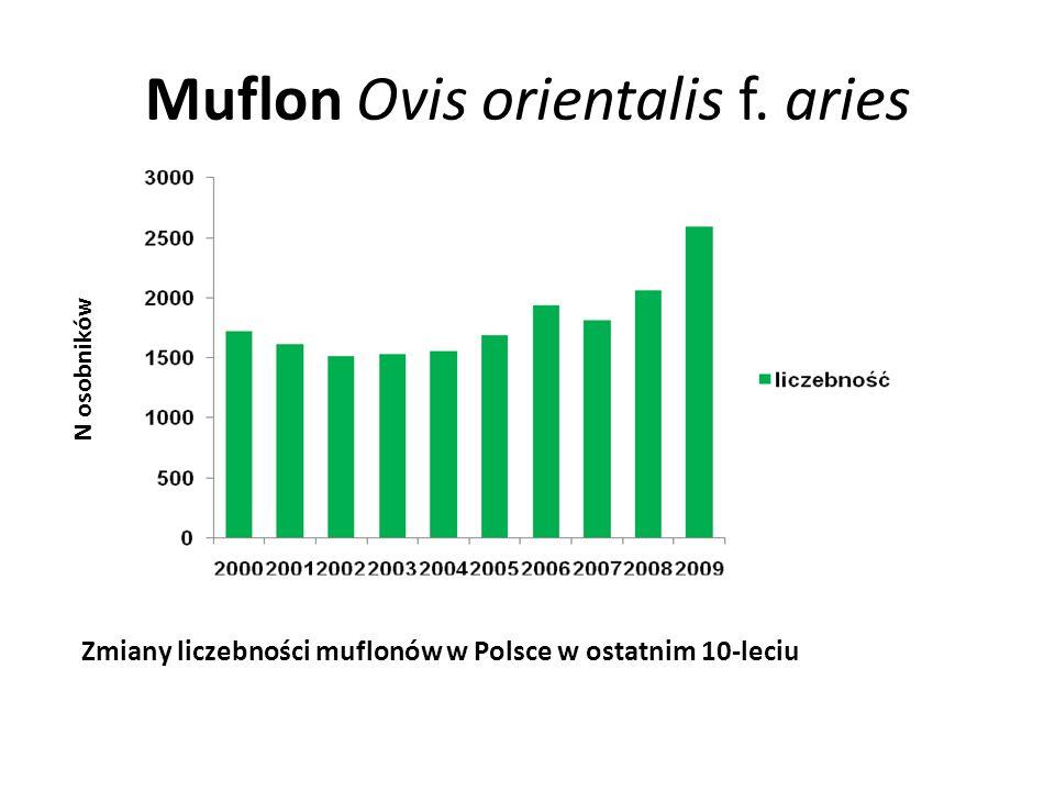 Muflon Ovis orientalis f. aries