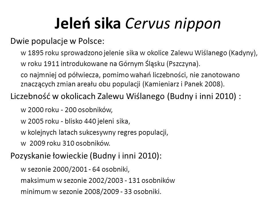 Jeleń sika Cervus nippon