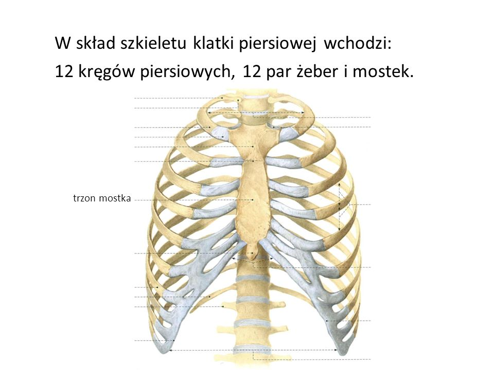 W skład szkieletu klatki piersiowej wchodzi: