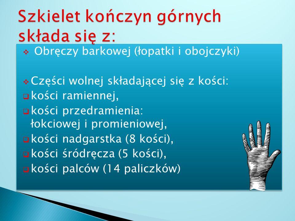 Szkielet kończyn górnych składa się z:
