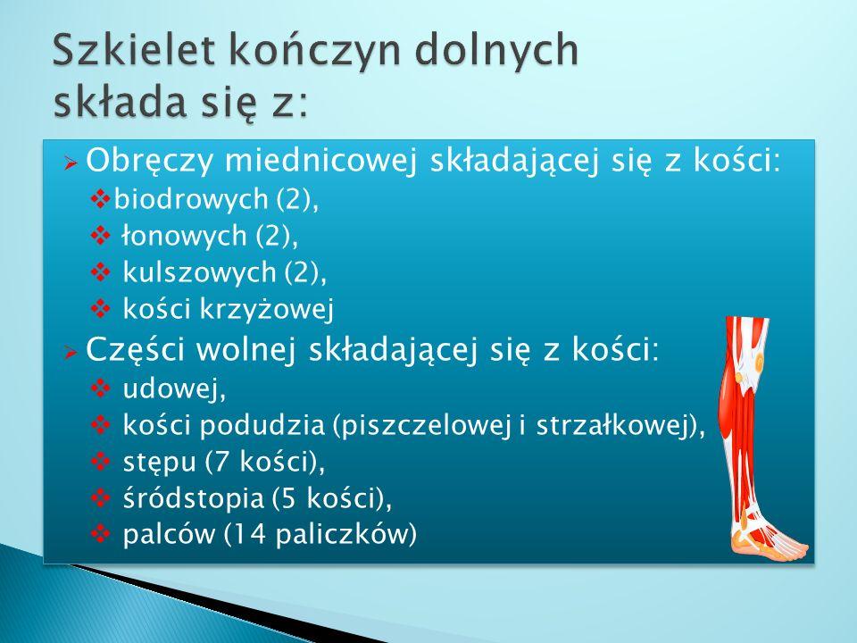 Szkielet kończyn dolnych składa się z: