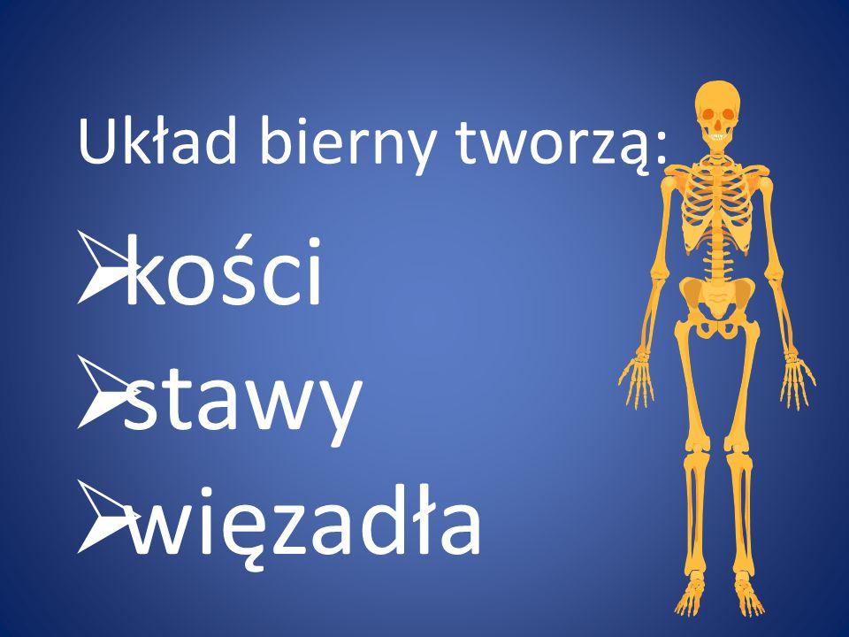 Układ bierny tworzą: kości stawy więzadła
