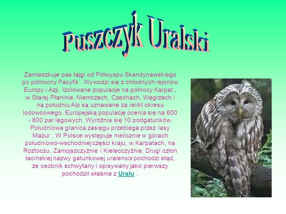 Puszczyk Uralski