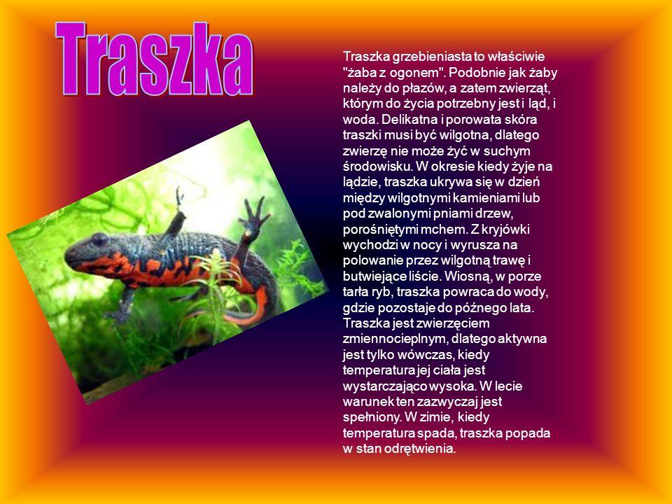 Traszka