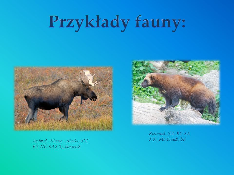 Przykłady fauny: Rosomak_(CC BY-SA 3.0)_MatthiasKabel