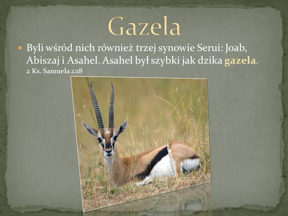 GazelaByli wśród nich również trzej synowie Serui: Joab, Abiszaj i Asahel.