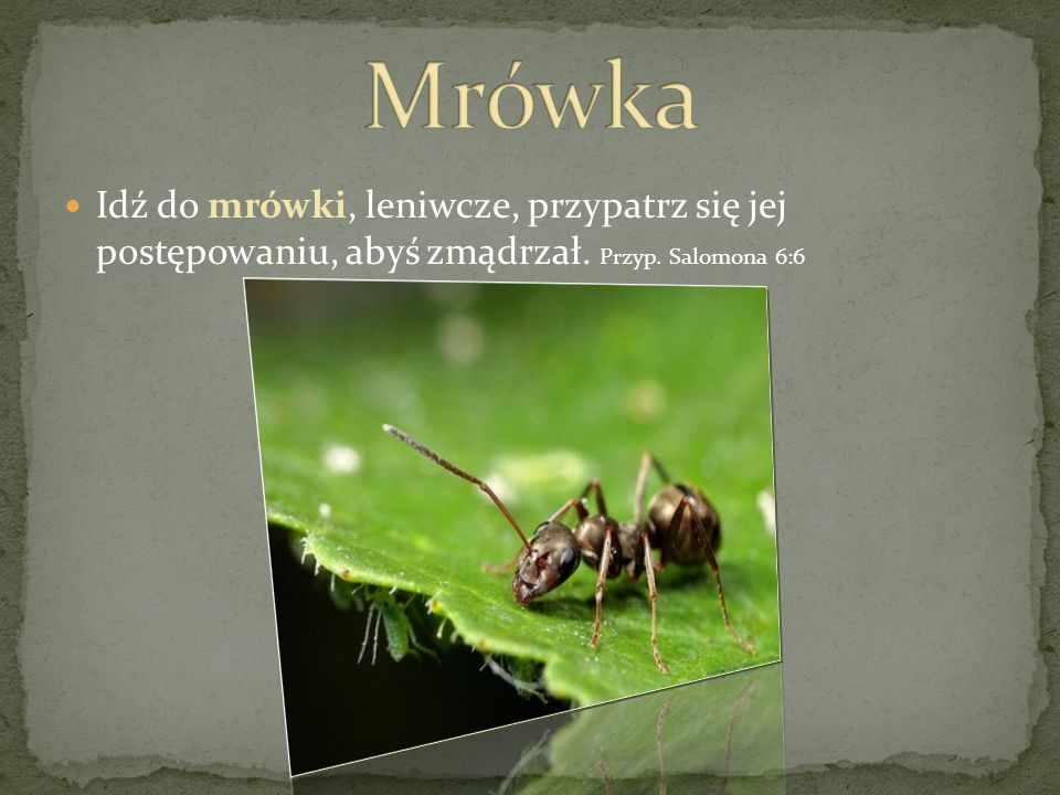 Mrówka Idź do mrówki, leniwcze, przypatrz się jej postępowaniu, abyś zmądrzał. Przyp. Salomona 6:6